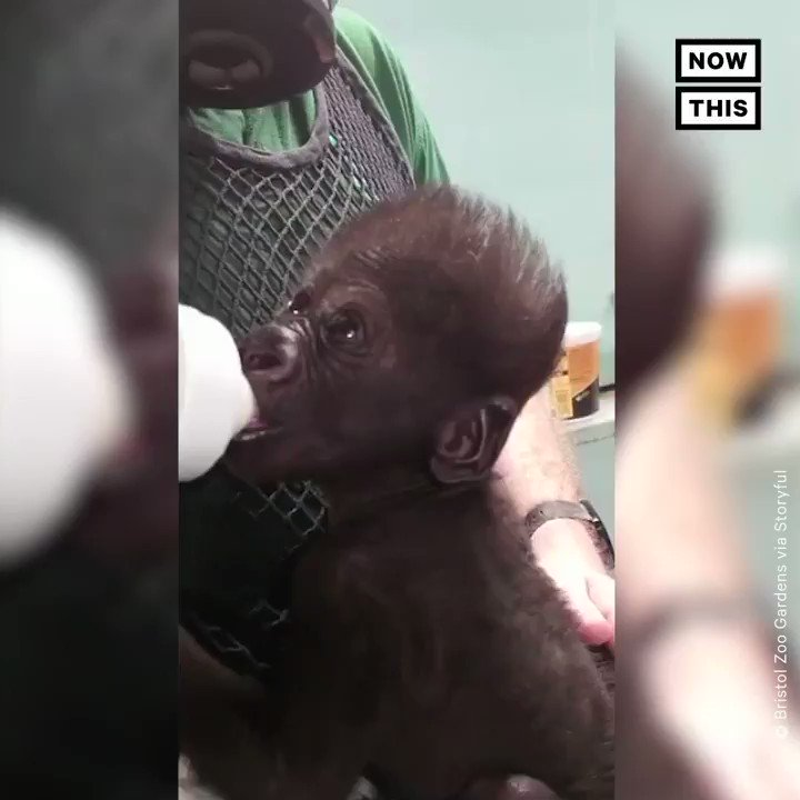 Staffers at the UKs Bristol Zoo are taking care of this newborn western lowland gorilla around the clock after his mother struggled to feed him. Zoo staff is also making sure gorillas continue to see him and smell him so he is accepted into the family 🦍