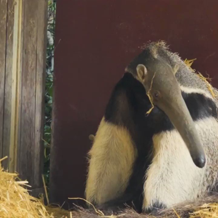 Did you know these awesome anteater facts?