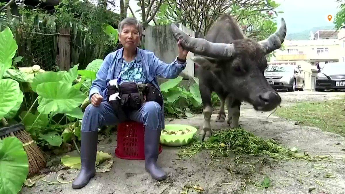 ICYMI: After finding an injured male wild water buffalo 12 years ago, Hong Kong's Leung Siu-wah has dedicated her life to saving them https://t.co/gxQGac4pIG