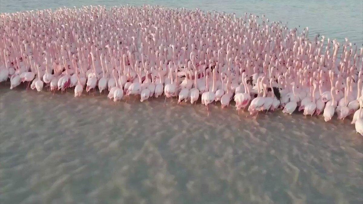 WATCH: Quite flamboyant! A group of flamingos land on a Kazakh lake 🦩 https://t.co/5zSZ6lSU8L
