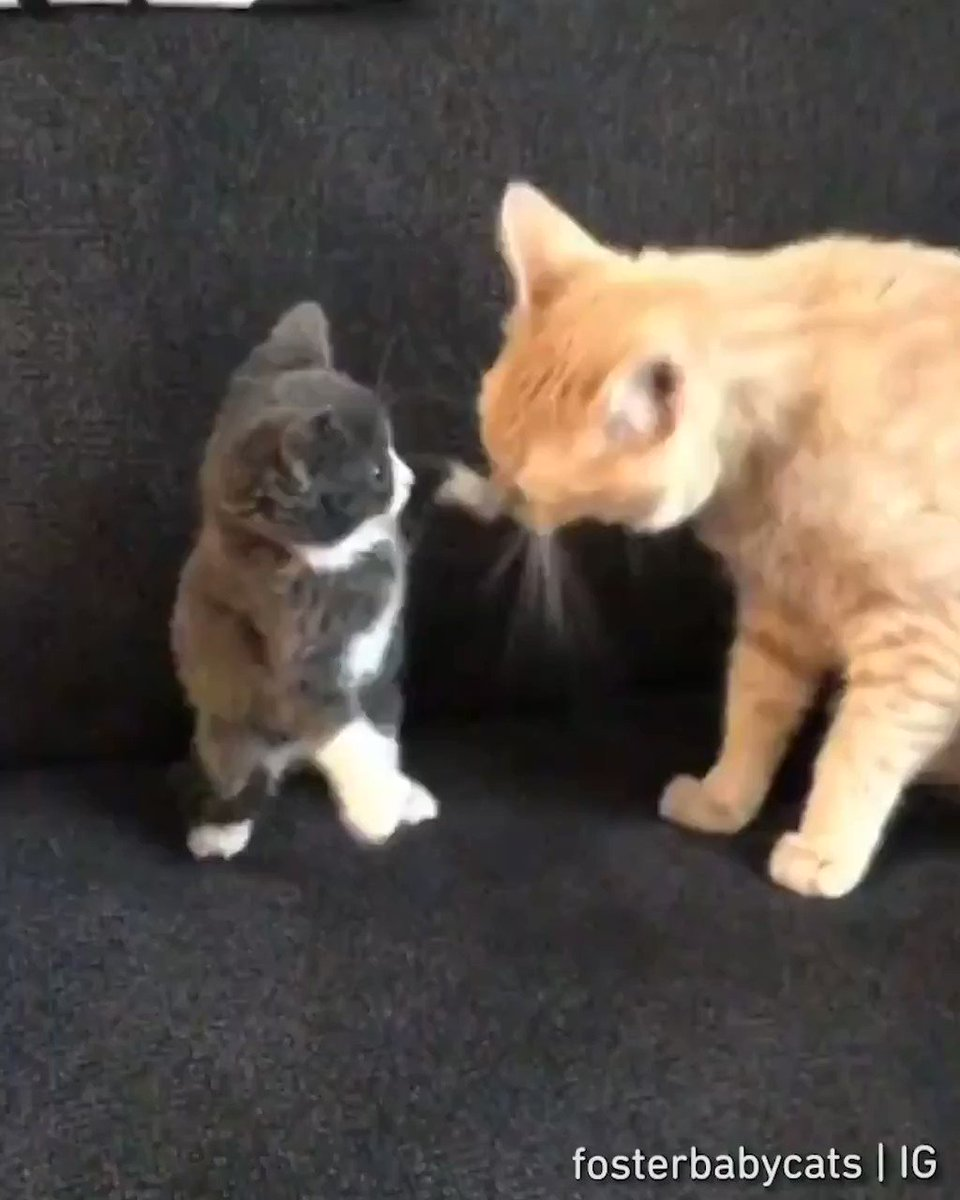 One punch meow wannabe  📹 fosterbabycats | IG https://t.co/IlnsZaCTBN