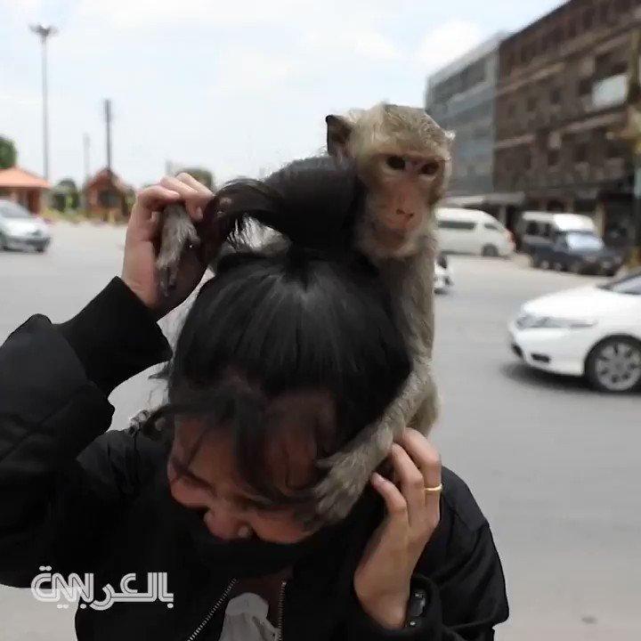 حاول عازف البيانو بول بارتون عزف مقاطع من الموسيقى الكلاسيكية لمجموعة من القردة في مدينة لوبوري القديمة بـ #تايلاند لتهدئتها.. فهكذا كانت ردة فعلها