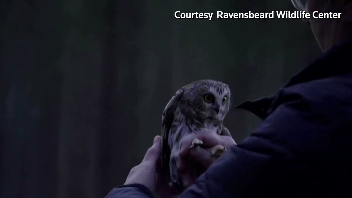WATCH: An owl named 'Rocky,' found stuck inside the famed Rockefeller Center Christmas Tree, was released back into the wild https://t.co/FmmPXWbEcz