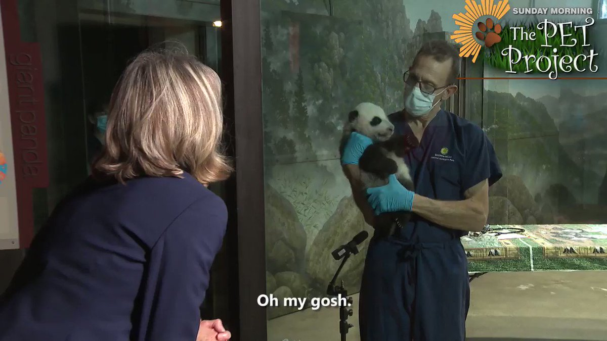 """TONIGHT #SundayMorning on Friday Night 🐕   His Chinese name is Xiao Qi Gi (Shau Chee Gee) which means """"Little Miracle"""" and he's the latest star at the @NationalZooDC in Washington, DC. Rita Braver visited with the Giant Panda cub during a recent medical exam #sundaypets"""