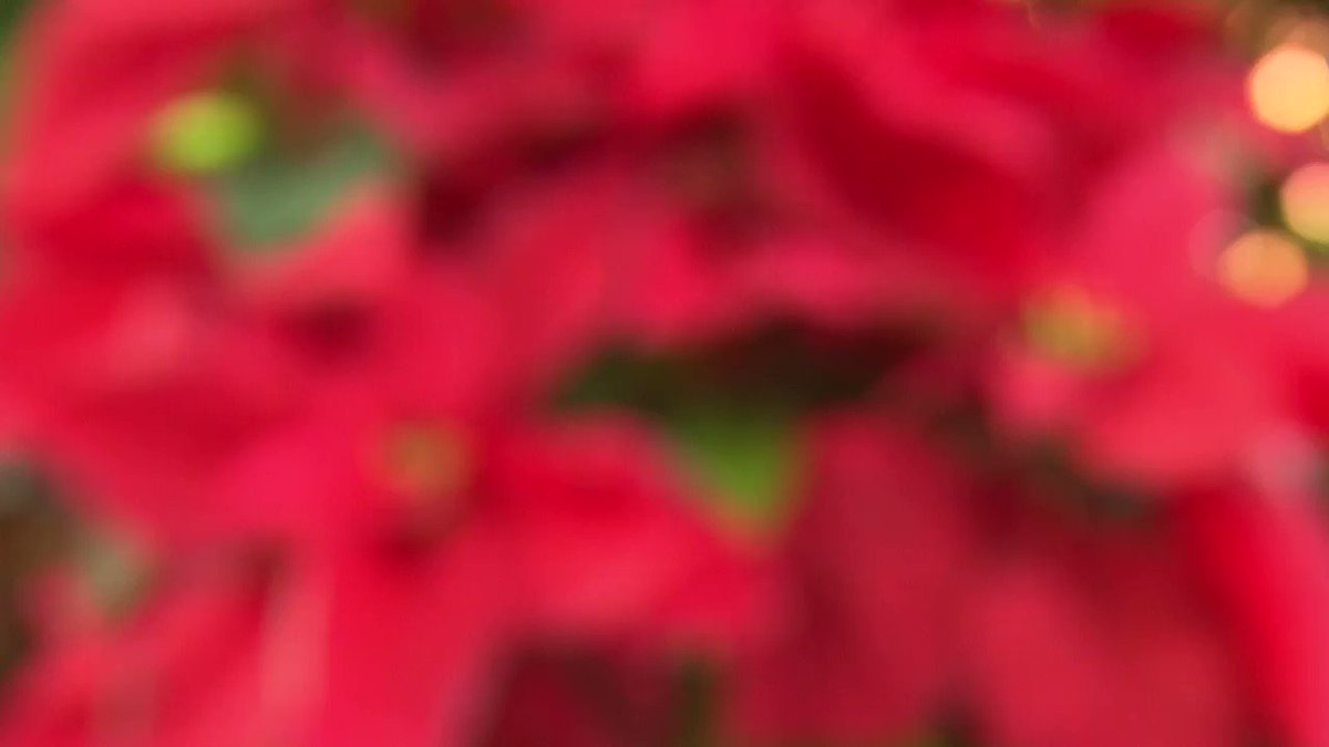 A little poinsettia grew into this monster plant. CNN's Jeanne Moos reports. https://t.co/ny5jBw7Rll https://t.co/3SAYnUdGp9