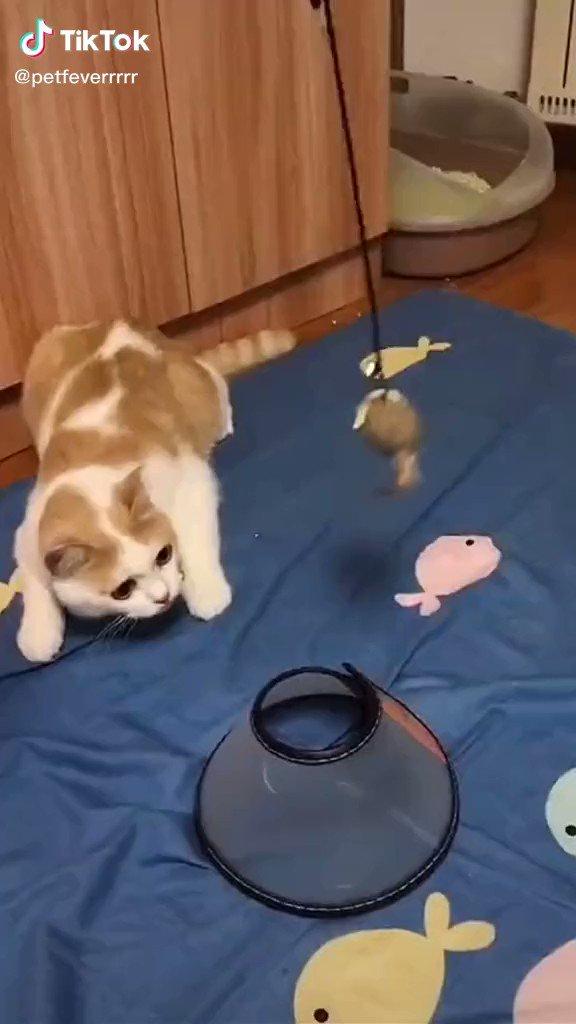 アンジャッシュ渡部なんかよりも素晴らしい発想でエリザベスカラーを付ける猫みて