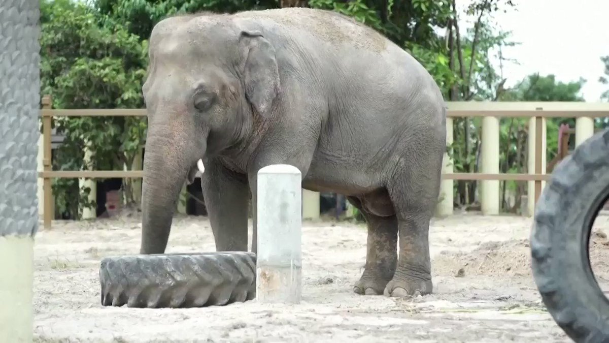 Pakistan's lonesome elephant Kaavan starts a new life in Cambodia
