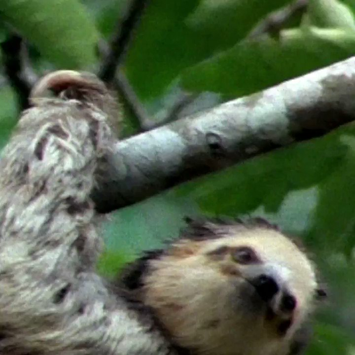 Silly facts about sloths 🦥 https://t.co/kU28zFCwPr