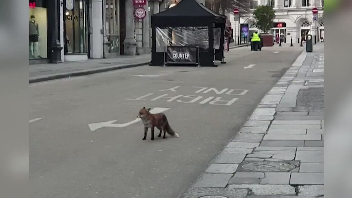 WATCH: A fox was spotted on the empty streets of Dublin, Ireland