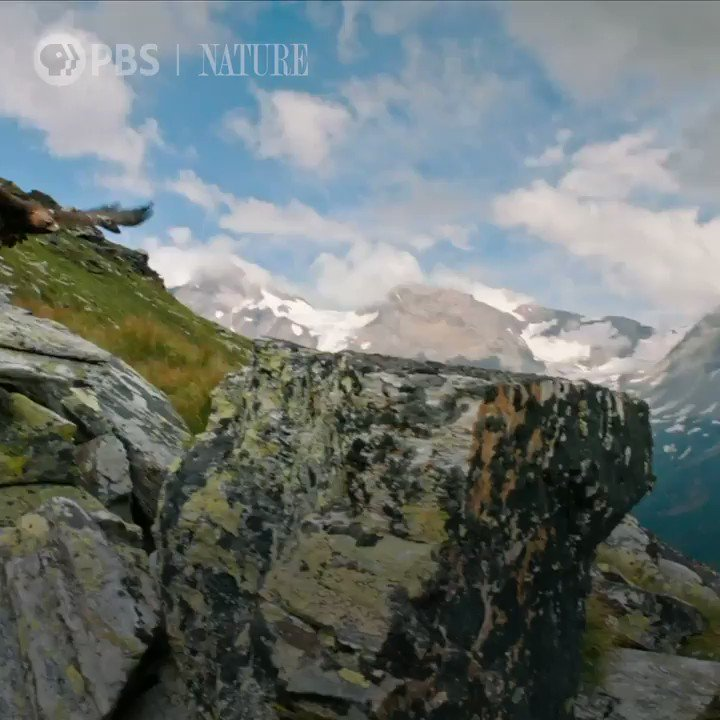 RT @PBSNature: To protect her young, this mama marmot is always on the lookout for deadly eagles. #NaturePBS https://t.co/9KvM2sm5xR