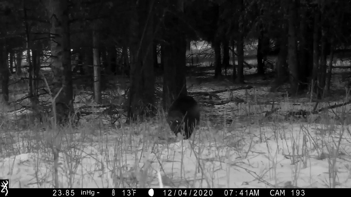 Last month, park biologists were excited to find one of Yellowstone's rarest mammals triggered a remote trail camera outside the Mammoth Hot Springs area: a wolverine!  Video description: Black and white video of wolverine running through a snow-blanketed, forested area.