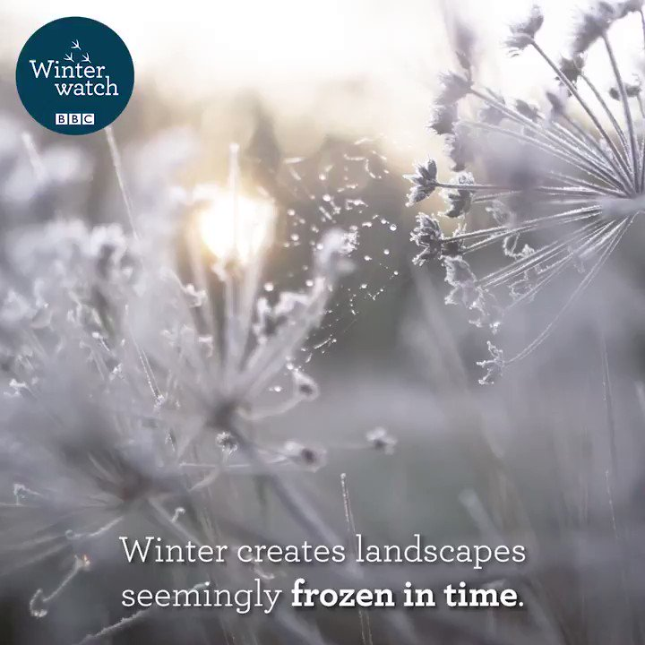 Winterwatch is BACK to bring you the very best of our brilliant British winter wildlife.  Join us LIVE from 19th January to 29th January, Tuesday to Friday on @BBCTwo at 8pm.   We will see you all very soon… 😊  #Winterwatch ❄️🐾💙