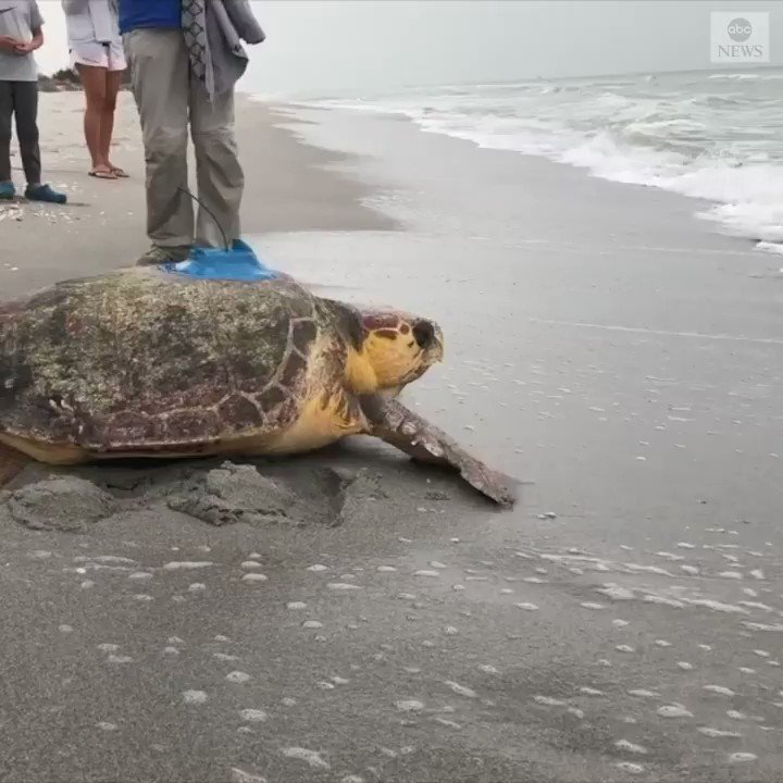 BACK IN ACTION: Rescued sea turtle released back into the ocean after months of rehabilitation, with a satellite tag attached to its shell that allows scientists to track the loggerhead's whereabouts.