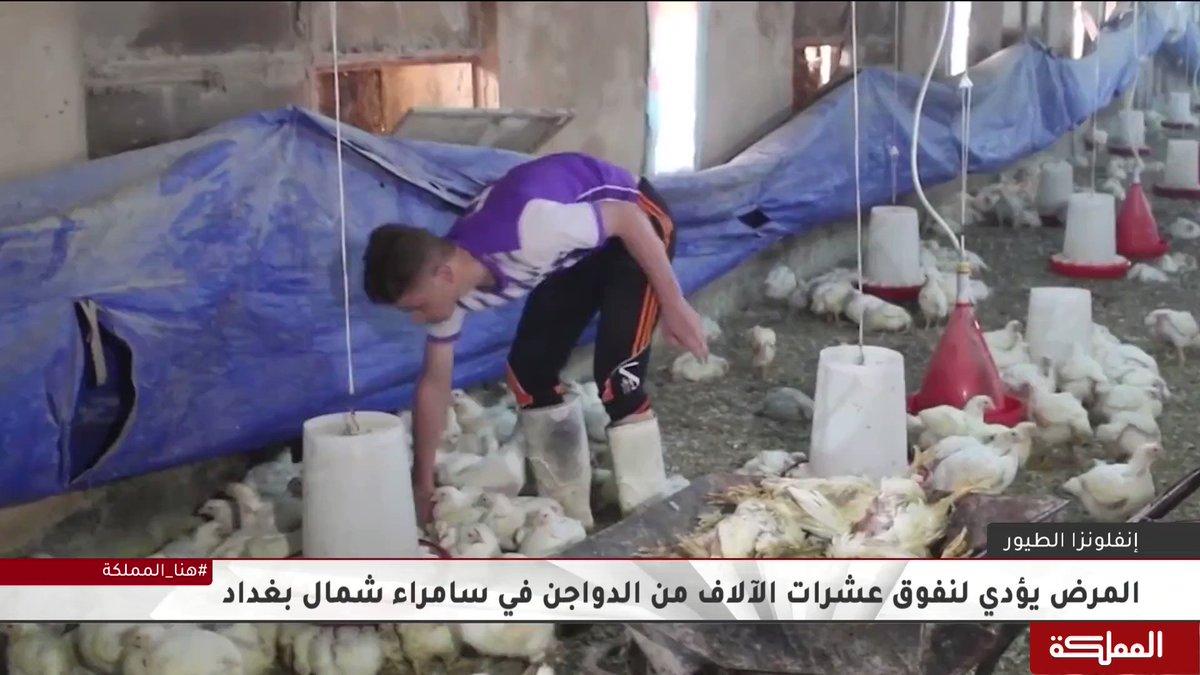 تفشي لمرض جديد في العراق، لكن هذه المرة بين الدواجن مسببا خسائر فادحة بالثروة الحيوانية   #إنفلونزا_الطيور #العراق #هنا_المملكة