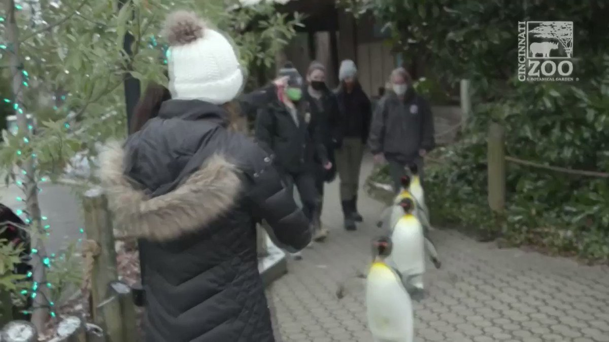 Image for the Tweet beginning: WATCH: Four king penguins go
