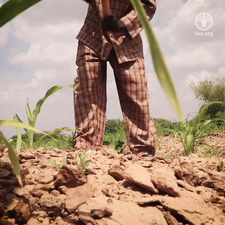 Ali's life depends on farming, but when floods & desert locusts destroyed his crops, he faced devastation.   See how @FAO  is helping Ali & other people in Somalia recover from this dual threat.