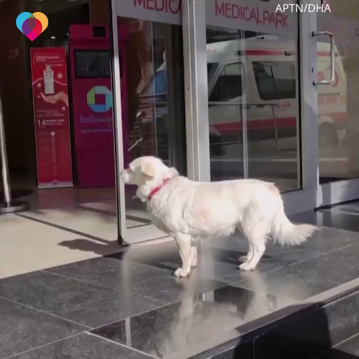 Ever since her beloved owner was hospitalized, this dog walks to the hospital every day and sits outside, waiting to see him 😢