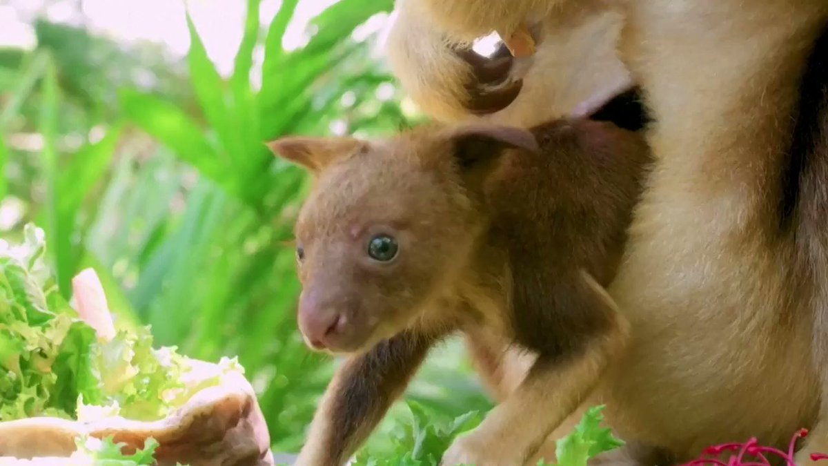 At Australia's Taronga Zoo Sydney, a tree-kangaroo joey 🦘 is taking curious peeks of the outside world https://t.co/5Wfrni5ZiV