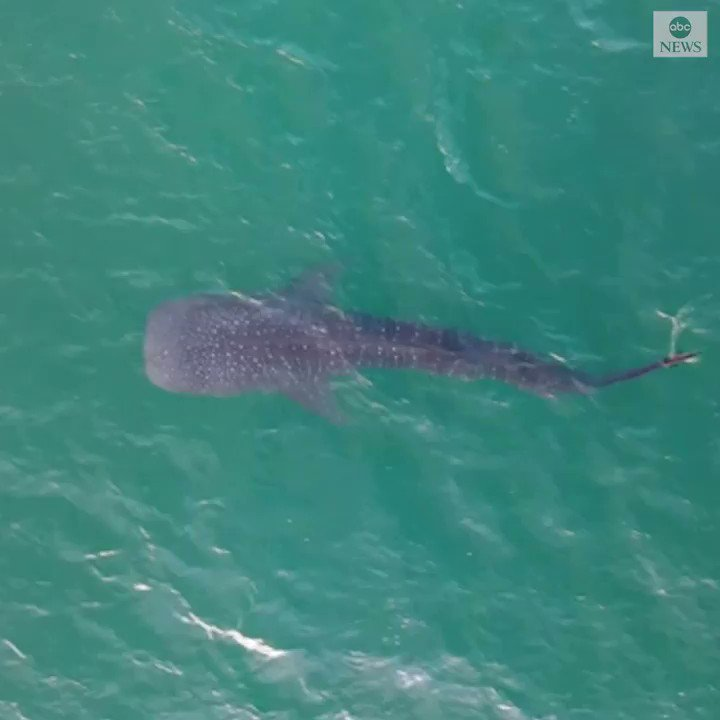 WHALE YOU LOOK AT THAT: Stunning video shows a whale shark estimated to be some 30 feet long gently swimming off the coast of Stuart, Florida.