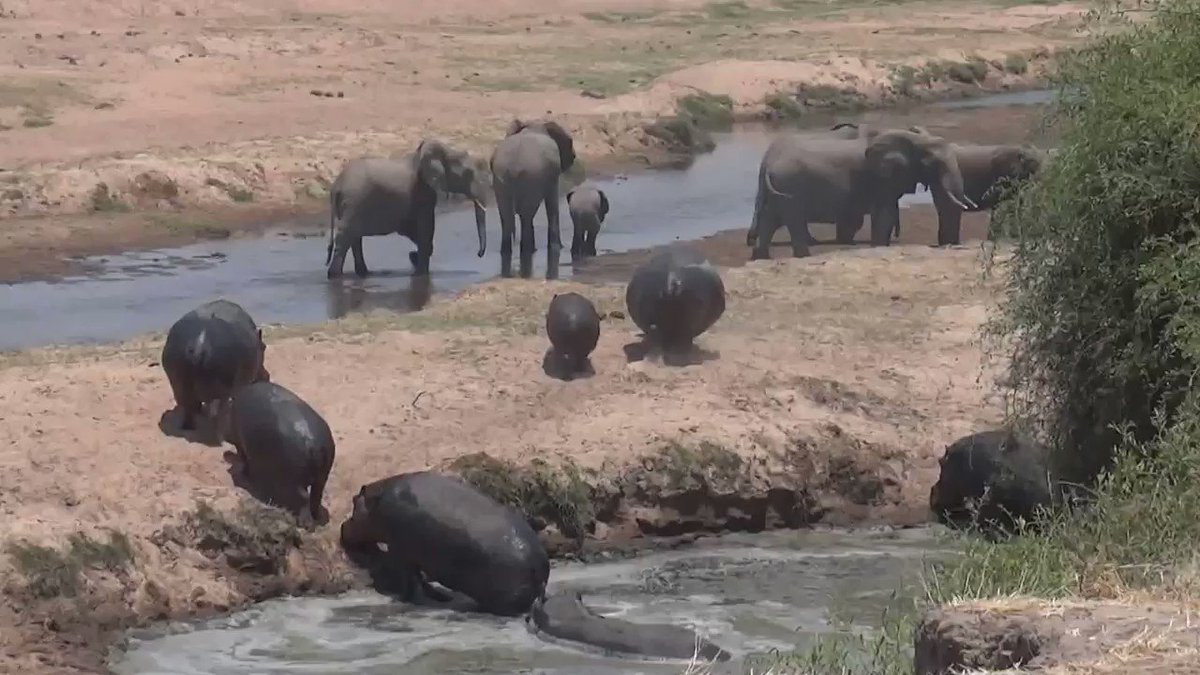 See the baby elephant?  Notice how the matriarch in front (with the longer tusks) sees that the hippos are getting close.   She lets out a low rumble and the herd quickly forms a protective circle around the baby.  An elephant herd's #1 priority is protecting the babies.