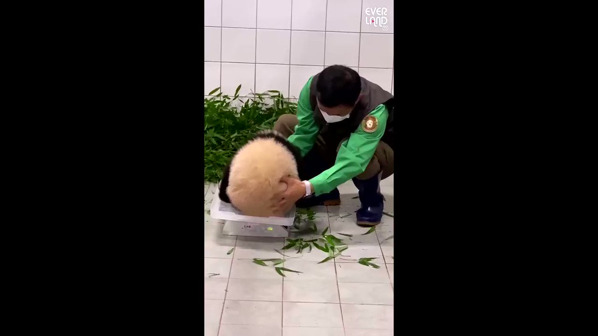 Video of a South Korean baby panda clinging to her zookeeper goes viral 🐼 https://t.co/Ct0PfYX5kV