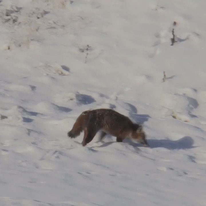 Fox seen traversing snow in the Black Country