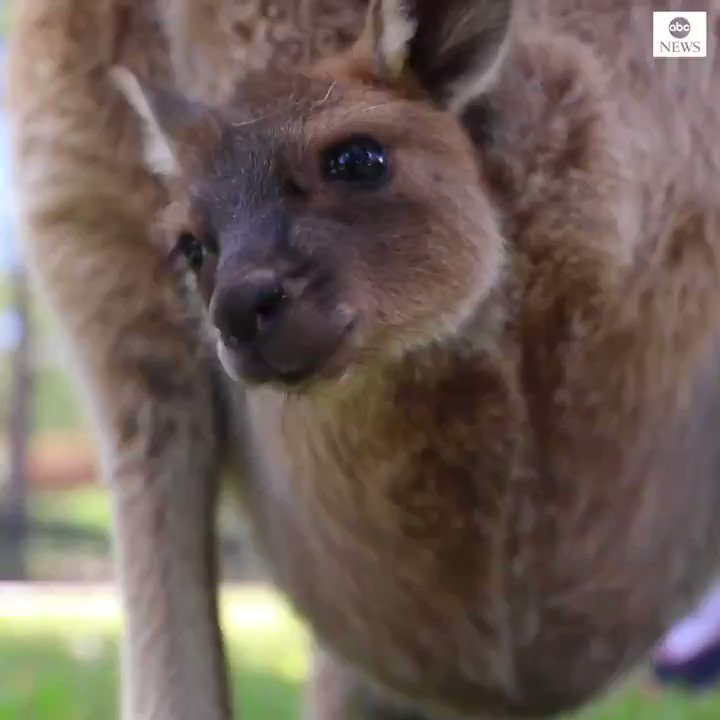 ONE GIANT LEAP: Adorable kangaroo joey captured taking its first hops from its mother's pouch 😍
