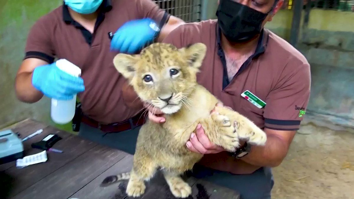 A wildlife park in Singapore released video footage of its first lion cub born following artificial insemination. The cub is named Simba
