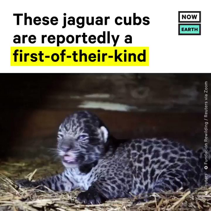 Two jaguar cubs, born on Jan 30, 2020, are the offspring of a wild father who has never been captive and a captive mother who has never been wild, and scientists think it's the first time this has ever been done.