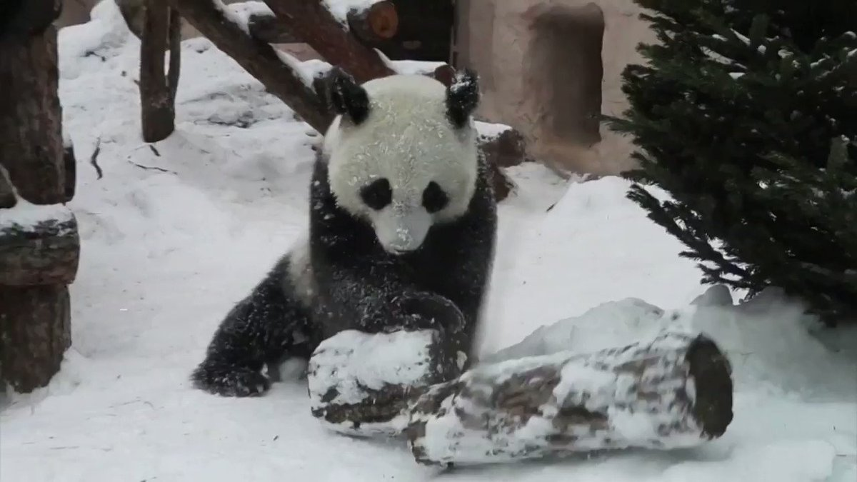 A panda plays in the snow at Moscow zoo
