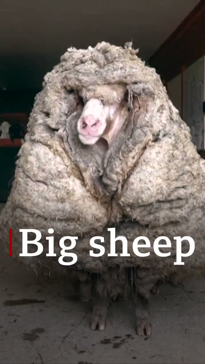 Replying to @BBCWorld: New fleece of life for Australian sheep with 35kg coat of wool