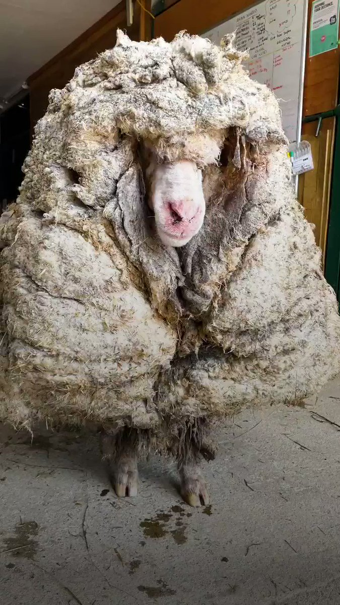 Sheep lost in forest for years gets 80 pounds of wool removed and feels brand new ♥️ @edgarsmission