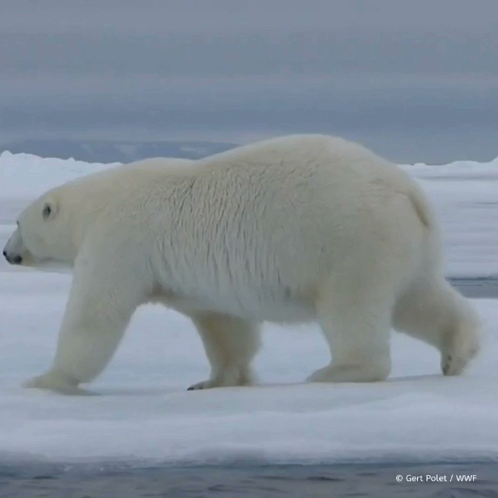 Image for the Tweet beginning: It's #PolarBearDay 🐻❄️  #DYK #polarbears leave