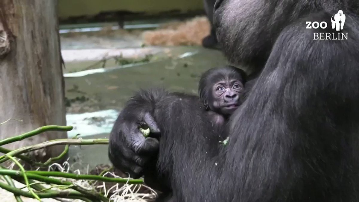 Here's a look at a baby gorilla born at Berlin Zoo