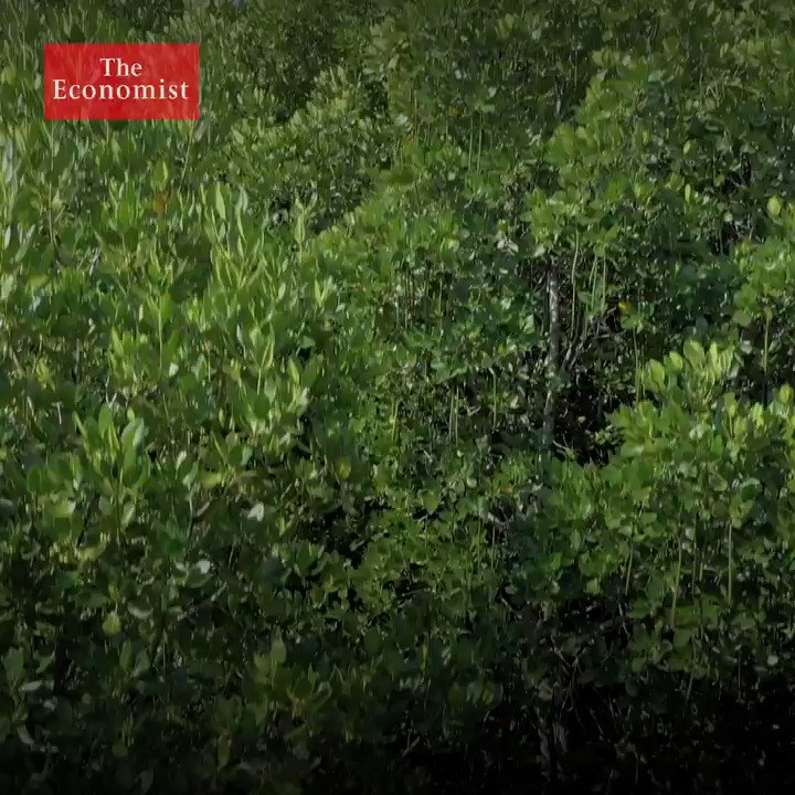 Image for the Tweet beginning: Mangroves are the only trees