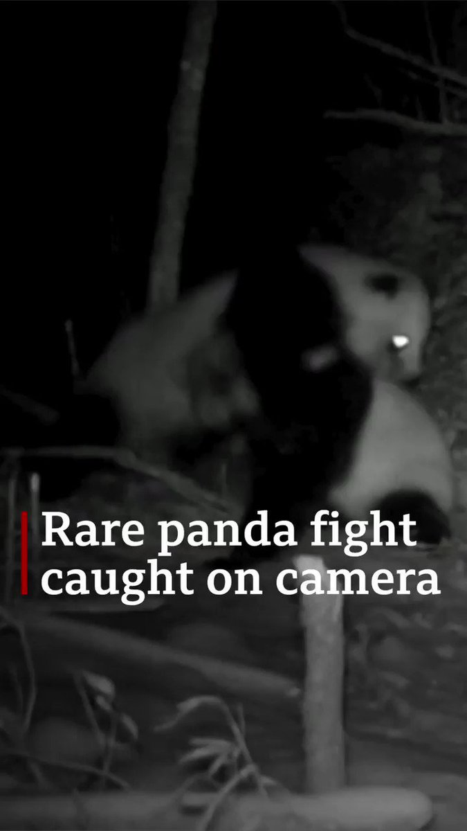 Rare footage of two wild pandas fighting captured by researchers