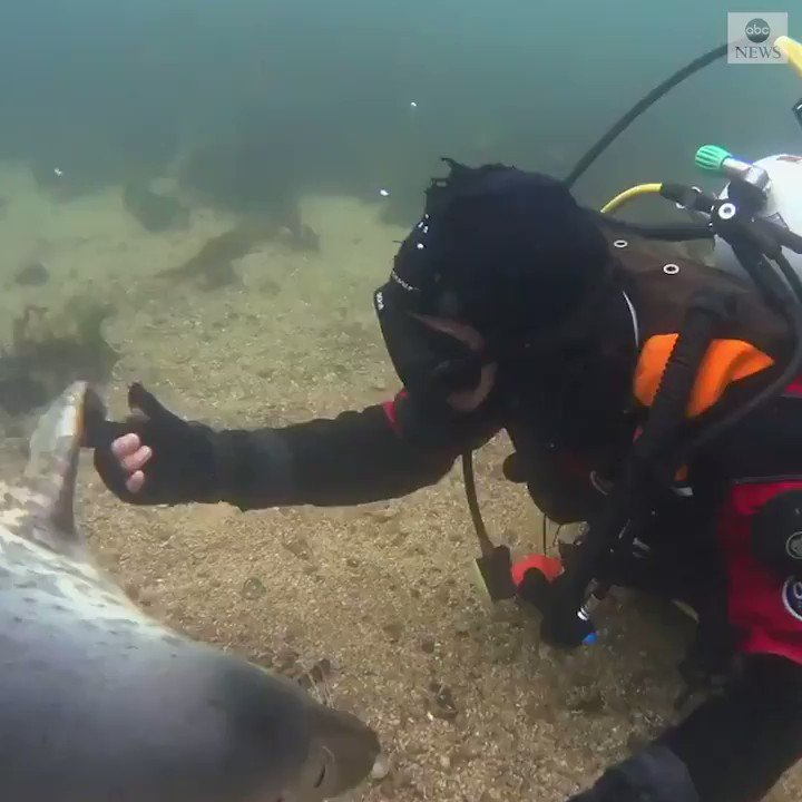 """Sometimes holding hands can say more than words.""  Tender moment as seal clasps diver's hand during a sweet underwater encounter off the coast of northeast England. https://t.co/zd4yBzncYn https://t.co/RzMVEWPnnP"
