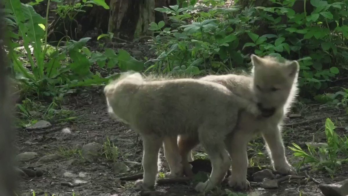 5⃣ arctic wolf pups, three females and two males, are born to mother 'Keysa' in a wildlife park in Belgium https://t.co/fIfwDVCtvz