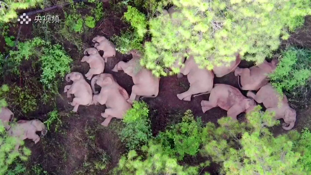 WATCH: A herd of elephants trekking through southwest China that has captured the public's imagination took a well-deserved rest 🐘 https://t.co/UTjRHrknPj