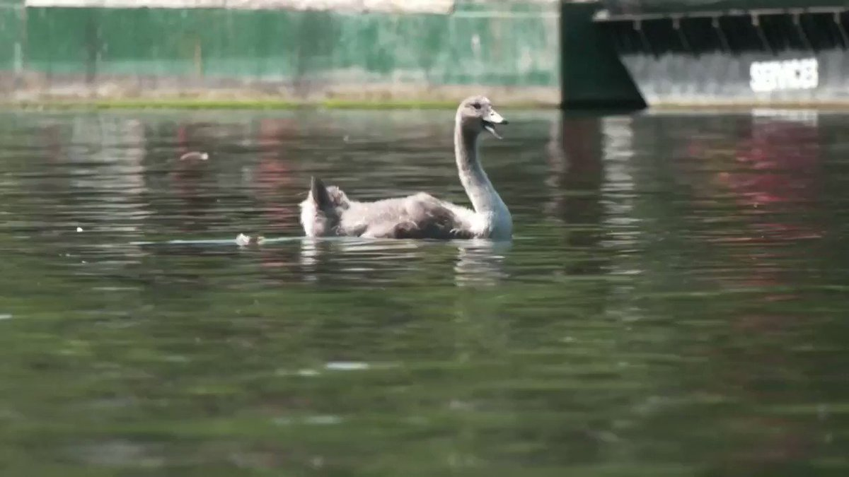 WATCH: Swan-uppers take to the River Thames to check on Queen Elizabeth's birds https://t.co/UuT06fxKuy https://t.co/JxECebpF7x