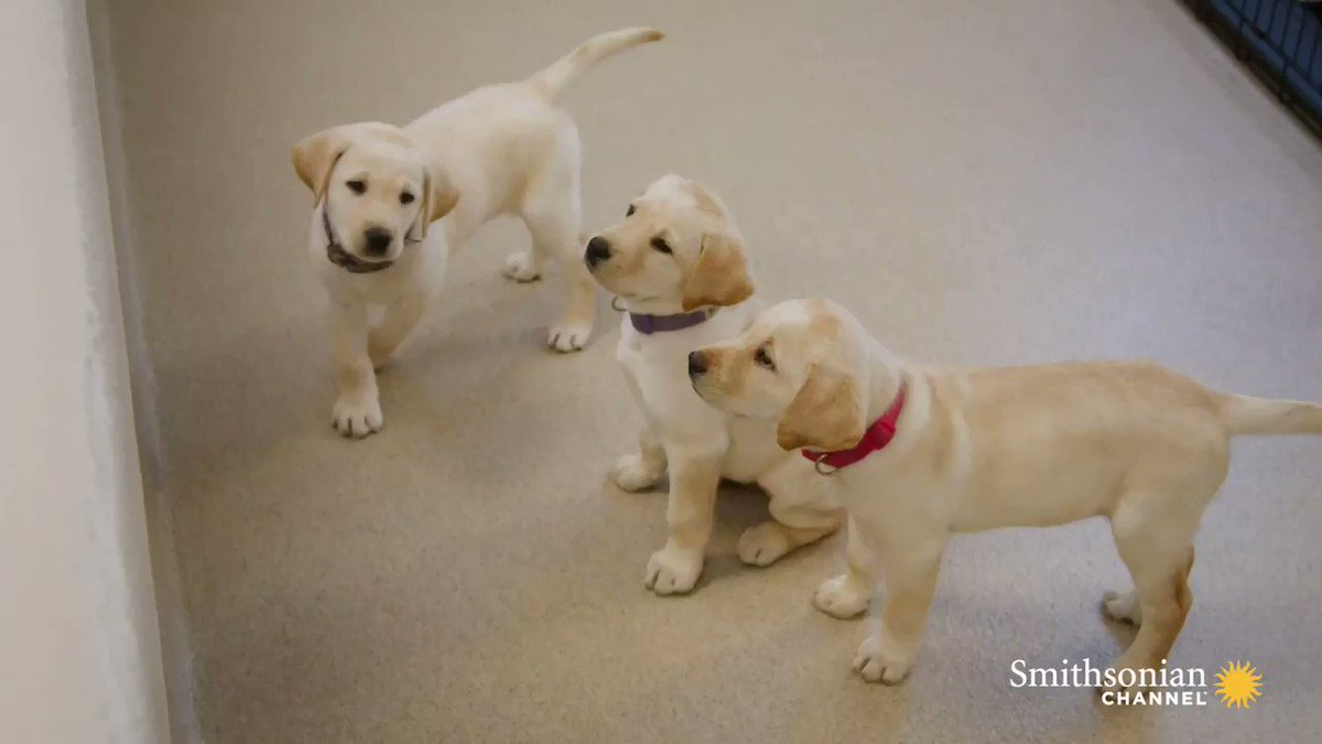 Iris the Labrador is one of only 30 running dog guides in America. 🦮Learn how Iris gave their owner a new lease on life tonight in Dogs with Extraordinary Jobs: The Protectors with @VictoriaS at 8 PM. tonight at 8 PM. https://t.co/yBwNLT4jQa