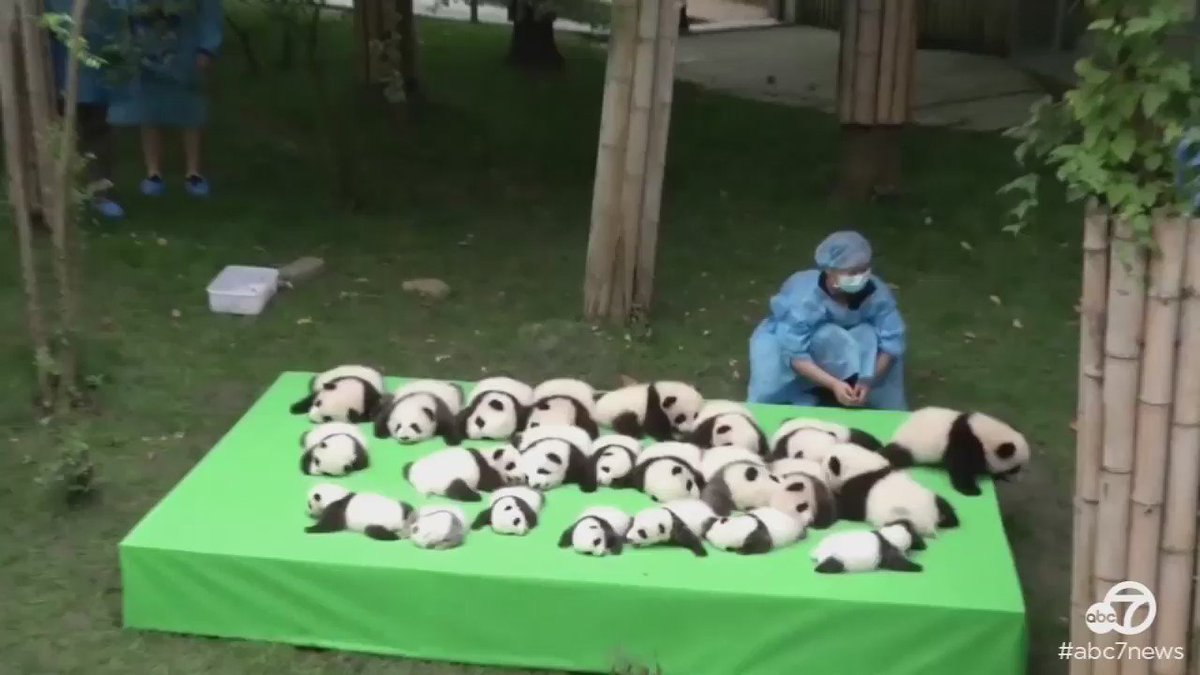 It's a panda bonanza in China – a breeding facility debuted 23 cubs this week!
