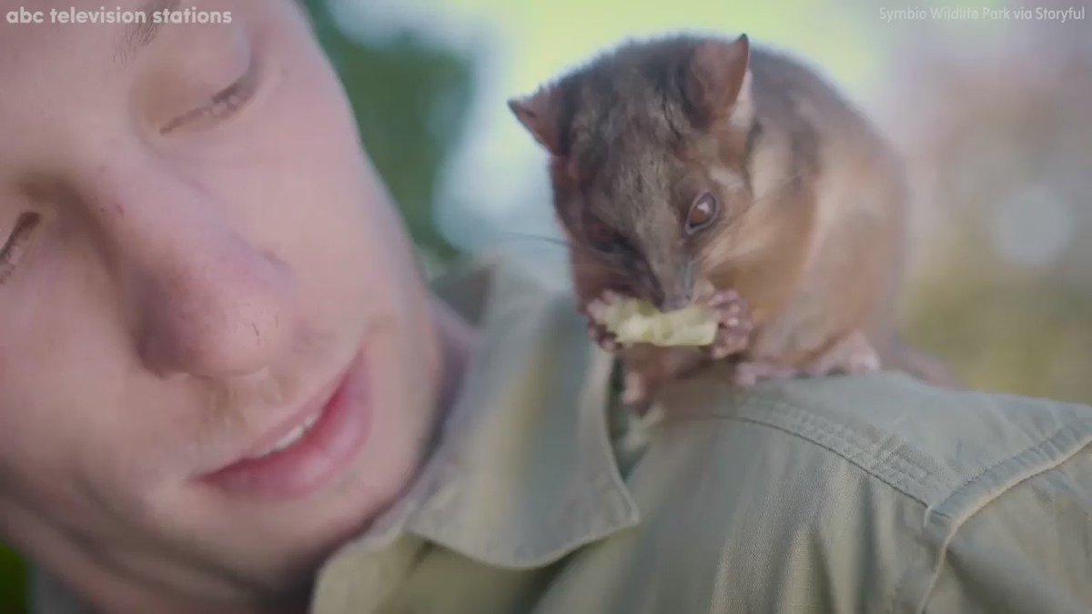 This orphaned ringtail possum and this zookeeper have the cutest bromance at @symbiozoo