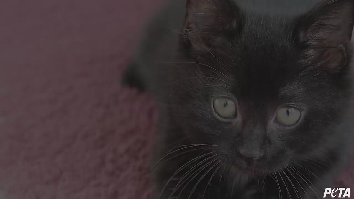 Did you know that black cats are less likely to be adopted from shelte...