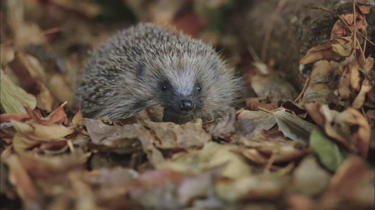 New #blog: Having a bonfire? Watch out for hedgehogs! https://t.co/fL5IIC52Uw #BonfireNight https://t.co/OEK6UE4zw5