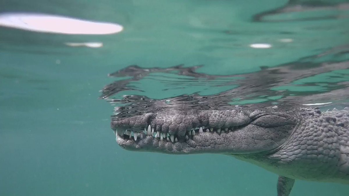 In Cuba's Gardens of the Queen, crocodiles are a sign of a well balanced ecosystem