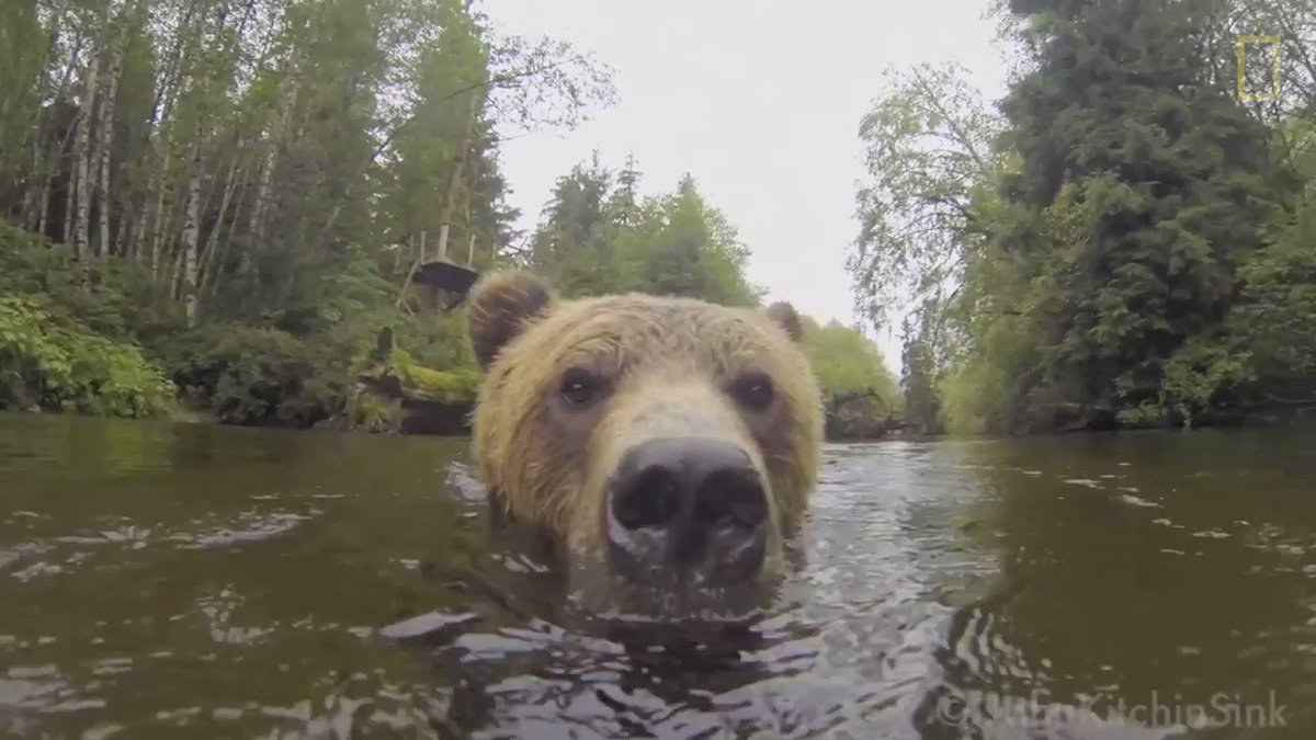 Watch what happens when a young grizzly bear finds a camera