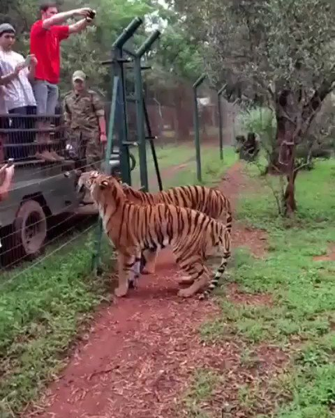 This tiger's launching for a slab of meat makes Vince Carter's vertical look weak.