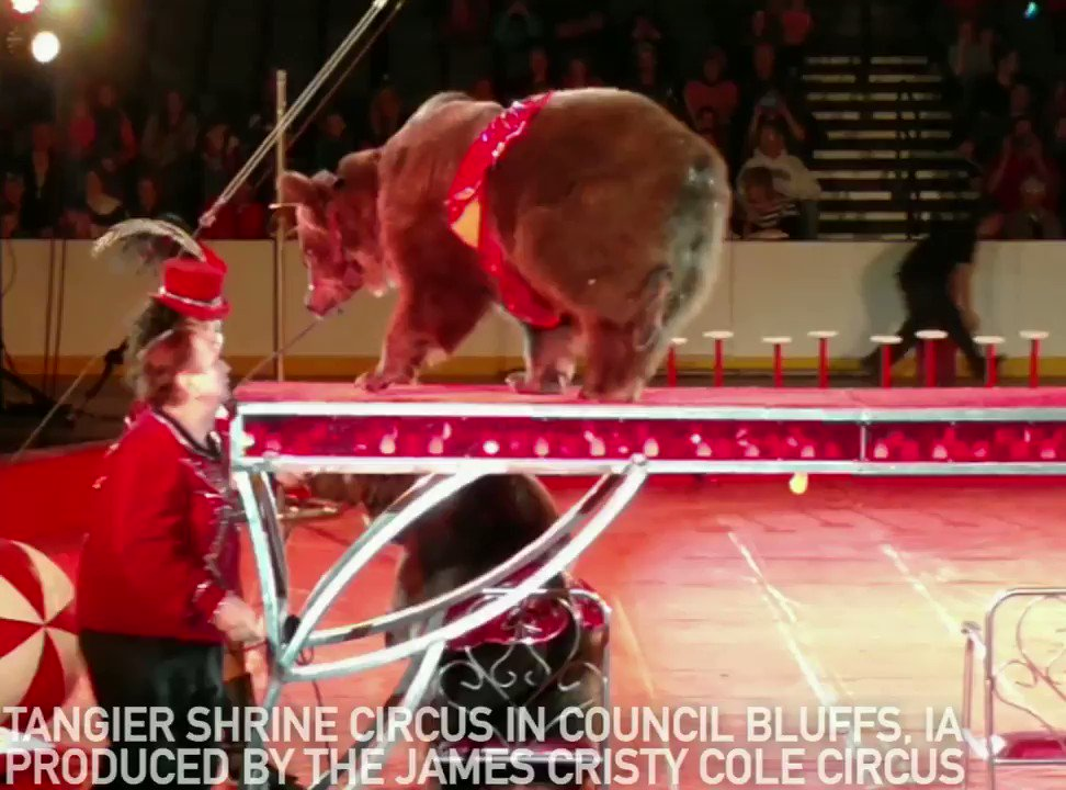 This poor bear at #ShrineCircus urinated on herself while performing