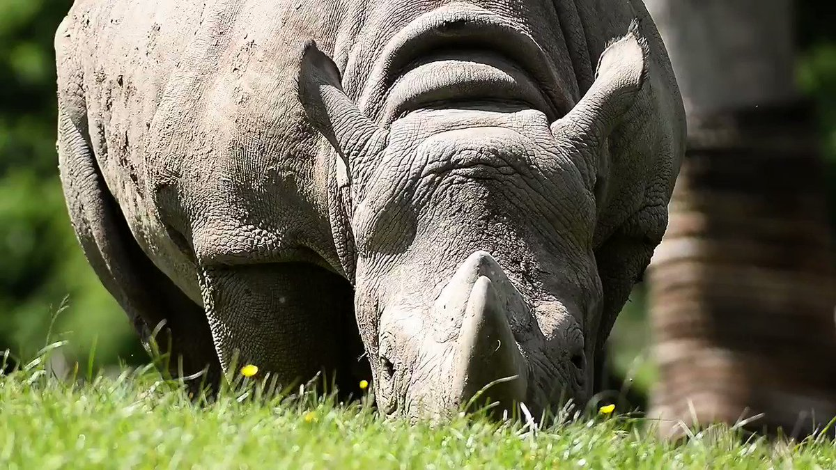 Black 🦏 numbers have declined by 97% in the last 50 years.  Let that s...